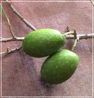 olive - Azienda Agricola Oliva