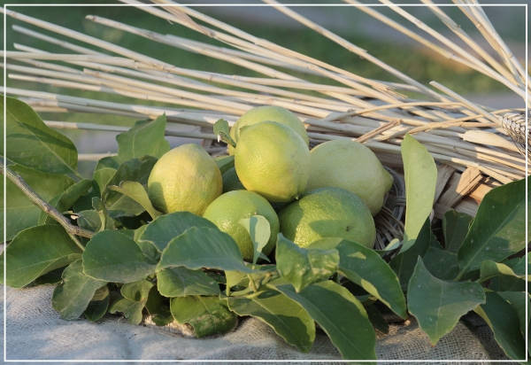 limoni IGP di Siracusa - Azienda Agricola Oliva
